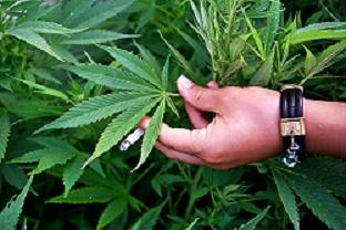 "<img src=http://www. 540325_49382752.jpg align=""right"" alt=""facts about marijuana"">"